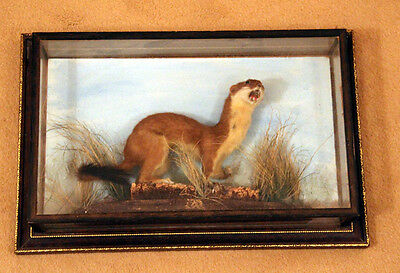 Cased Stoat in excellent condition Victorian/Edwardian. Taxidermy