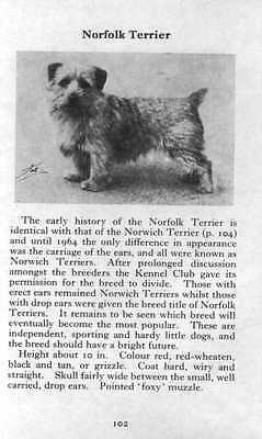 Norfolk Terrier - 1970 Vintage Dog Print - Matted