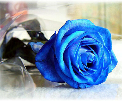 100 Seeds Fresh Hot Blue China Rare Rose Beautiful Flower Seed To Your Lover