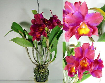 CATTLEYA POTINARA THITI x LC.LITTLE IRENE Blooming size, Fragrant, Orchid Plant