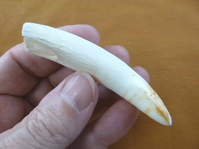 "(G376-141) 3-1/8"" GATOR Alligator Aligator Tooth TEETH for jewelry BIG loose"