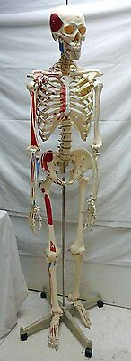 Human Anatomical Skeleton Medical Model & Stand LOCAL PICK UP