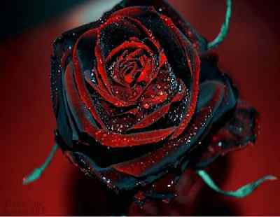 50x Rare True Blood Black Rose Flower Amazingly Beautiful Seeds Garden Plant