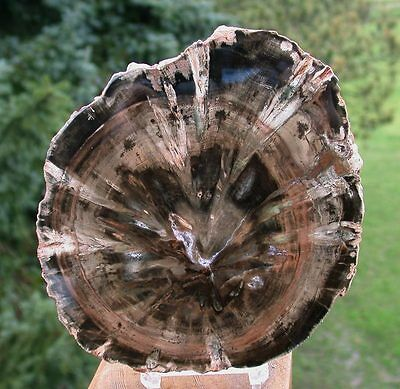 SiS: Petrified Wood Round - DRAMATIC PERFECTION African WOODWORTHIA!