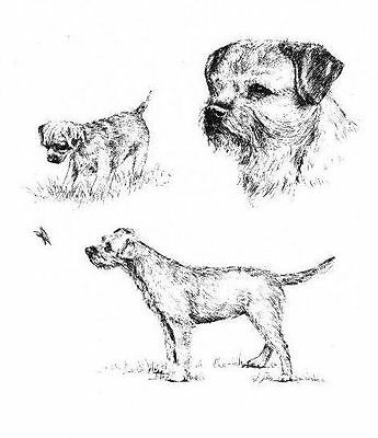 Border Terrier - 1963 Vintage Dog Print - Matted *