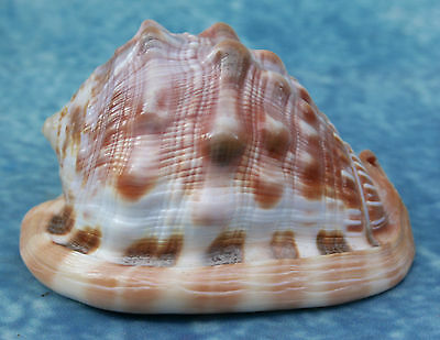 Vintage Tropical Pink Conch Shell