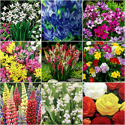 10x Garden Spring,Summer Flowering Hardy Perennial Flower Bulbs,Corms,Root,Plant
