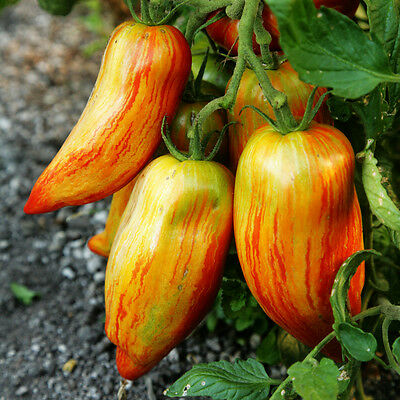 Organic Vegetable Tomato Speckled Roman 50 Seeds