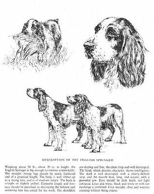 English Springer Spaniel Sketch - 1963 Vintage Dog Print - Matted