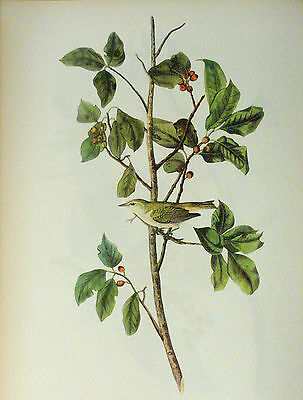 ANTIQUE 1937 AUDUBON PRINT - No. 154 TENNESSEE WARBLER - FREE SHIPPING