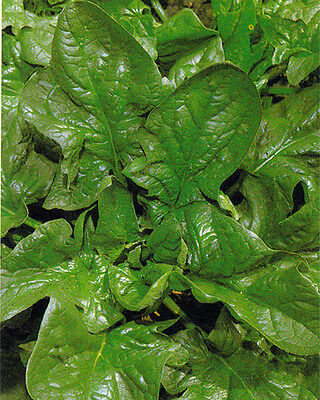 Organic Vegetable  Spinach Giant Winter  800 Seeds