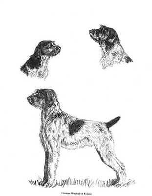 German Wirehaired Pointer - 1962 Vintage Dog Print - Cook