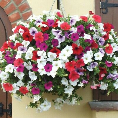 100 Mixed Petunia Seeds Heirloom Hanging Petunia Garden Flowers Bulk Seeds S048