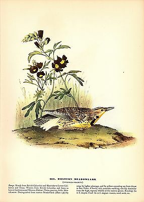 "1937 Vintage AUDUBON BIRD #489 ""WESTERN MEADOWLARK"" Color Art Print Lithograph"