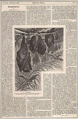 1883 Print Large Flying Fox Megabat Kalong Fruitbat