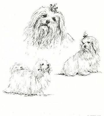 Maltese - 1963 Vintage Dog Print - Matted *