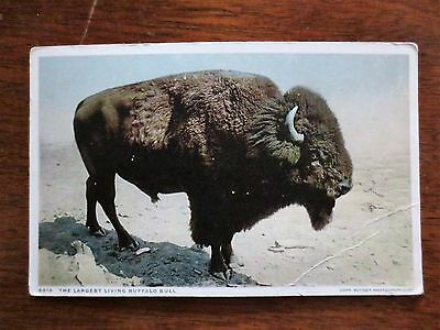 Early 1900s Largest Living Buffalo Bull Bison View Real Photo Postcard Unused
