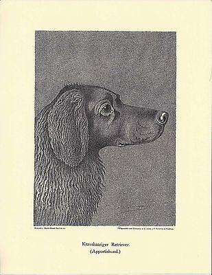 1890 Jean Bungartz Dog Art Head Study Print Reproduction CURLY COATED RETRIEVER