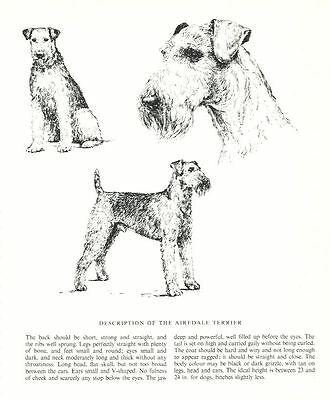 Airedale Terrier Sketch - 1963 Vintage Dog Print - Matted