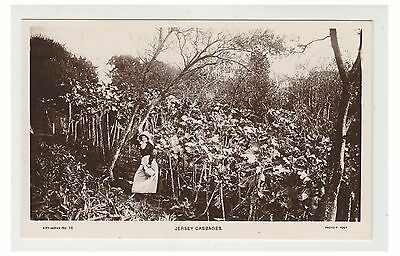 Jersey postcard - Jersey Cabbages - RP