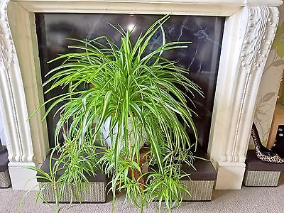 COLLECTION ONLY - PR25 - Very Large Spider house plant in a plastic pot - HUGE!!