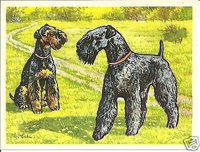 Rare 1952 Dog Art Print Austria Tobacco Company Bildwerk Card KERRY BLUE TERRIER