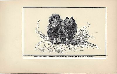 1900 Original UK Dog Art Pen & Ink Print R H Moore Black Sm POMERANIAN Ch Tina