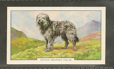 Rare 1938 UK Dog Art Colored Photograph Gallaher Cigarette Card BEARDED COLLIE