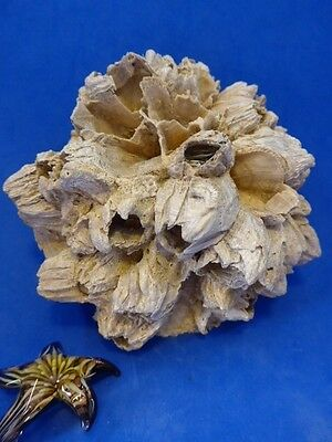 Chesapecten Jeffersonius Shell With Barnacles /megalodon-Shark Tooth Era Fossil