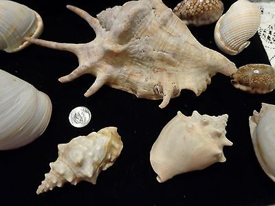 Huge Collection 100+ Antique/vintage Sea Shells Seashells Large & Small Lot