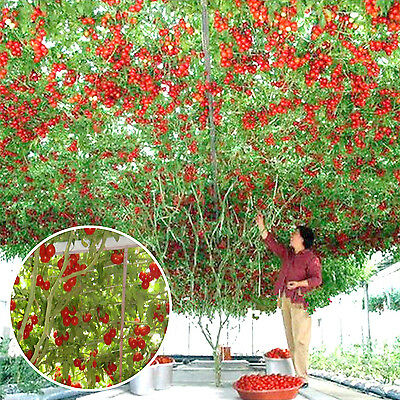 CHIC 100PCS New Hot Tomato Rare Heirloom Octopus Seeds Life Tomato Giant Tree