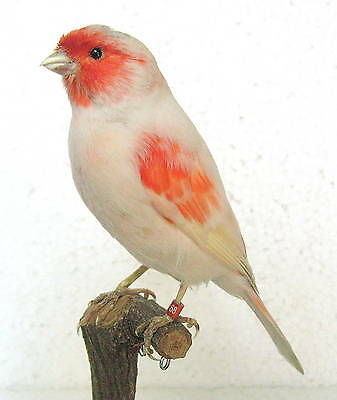 Taxidermy Stuffing Red Mosaic Canary with base - perfect for your collection