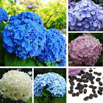 4Colors Hydrangea Flower Plant Seeds Family Yard Garden Perennial Seeds HOT