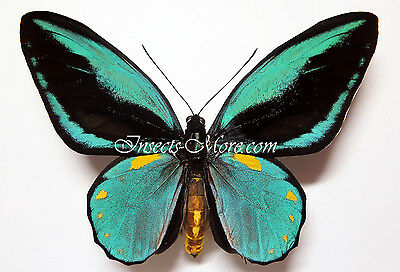 Ornithoptera aesacus male, forma w. lots of goldspots *Obi Island*