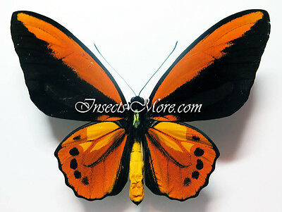 Ornithoptera croesus toeantei male form with big black dots *Morotai*