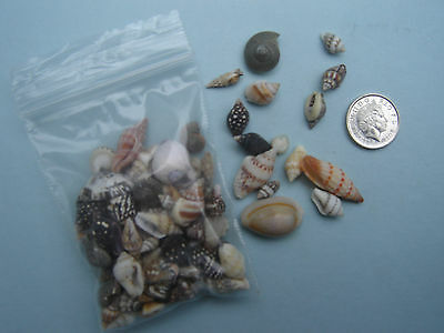 100 TINY MIXED SEASHELLS Small Sea Shells Craft Wedding Beach Confetti