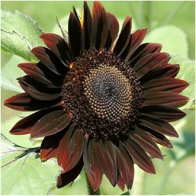 Flower Sunflower Chocolat  - 70 Seeds