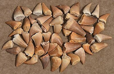 FIFTY Mosasaur teeth, from Morocco  #1