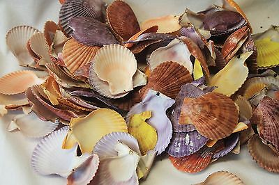 1kg Coloured Scallop Shells Assorted Sizes Floral Candle Nautical Craft