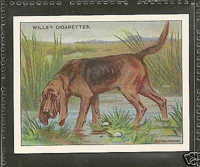 1914 Reissue UK Arthur Wardle Dog Art Body Study Wills Cigarette Card BLOODHOUND