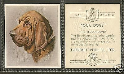 Rare 1939 Dog Art Head Study Godfrey Phillips Our Dogs Cigarette Card BLOODHOUND