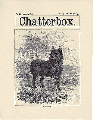 1892 Moore Dog Art Print + Page Chatterbox UK May 7 1892 SCHIPPERKE Reproduction
