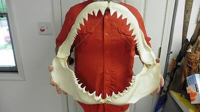 "(SJ130-5) Big RARE 22-1/4"" GREAT WHITE SHARK JAW jaws Teeth Tooth Carcharias"