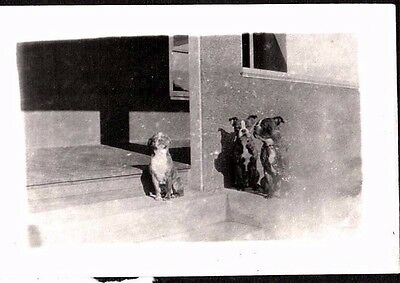 Vintage Photograph 1920's-1930's Boston Terrier Dogs Puppys New Jersey Old Photo