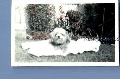Found Vintage Photo C+1285 Small Dog Laying On Blanket