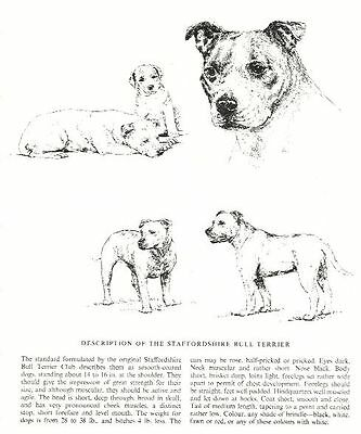 Staffordshire Bull Terrier Sketch - 1963 Vintage Dog Print - Matted
