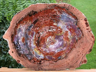 "SiS: MAGNIFICENT 20""+ Arizona Rainbow Petrified Wood Conifer Round - TABLE TOP!"