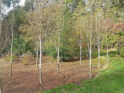1 Silver Birch Jacquemontii 5-6ft Stunning Tree, Himalyan White Birch, Betula
