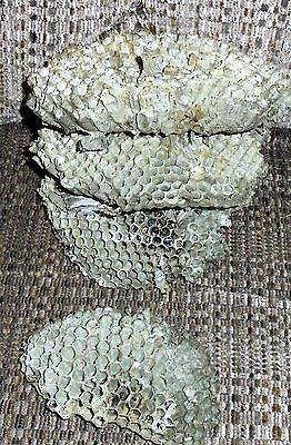All Natural Paper Wasp Nest Bee Hive, School Science Projects, Taxidermy, Crafts