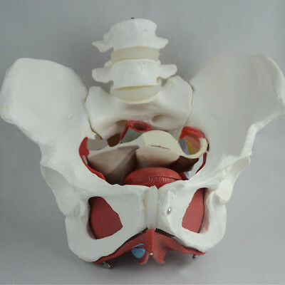 Life Size Medical Anatomical Female Pelvis Model with Removable Organs